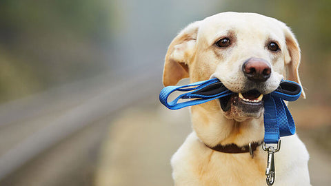dog walk  leash
