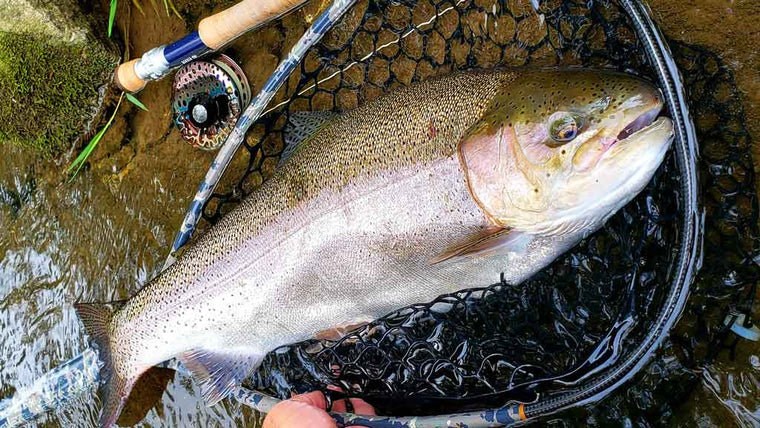 Large Trout Caught Fly Fishing