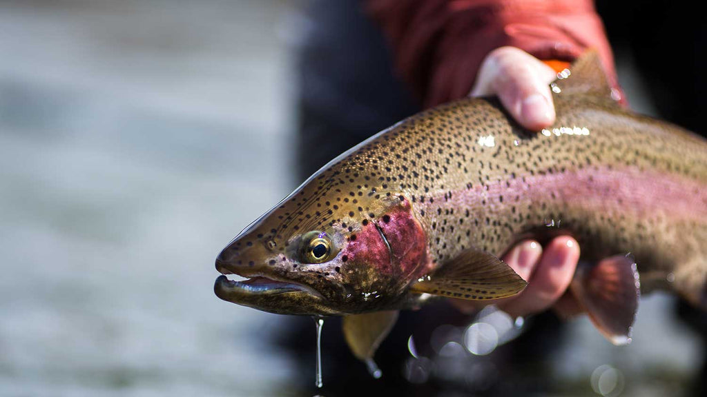 Bighorn River Rainbow Trout
