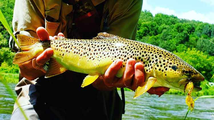 Brown Trout Caught on Fly Fishing Streamers