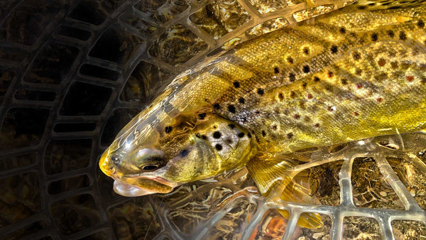 Low Crusing Brown Trout