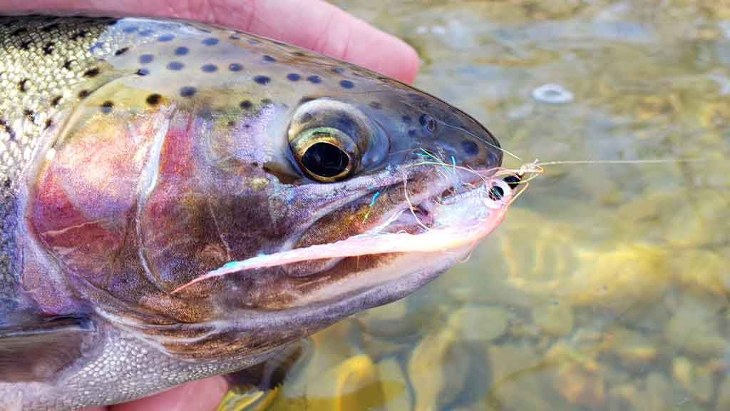 Trout Caught on Streamer On Lake