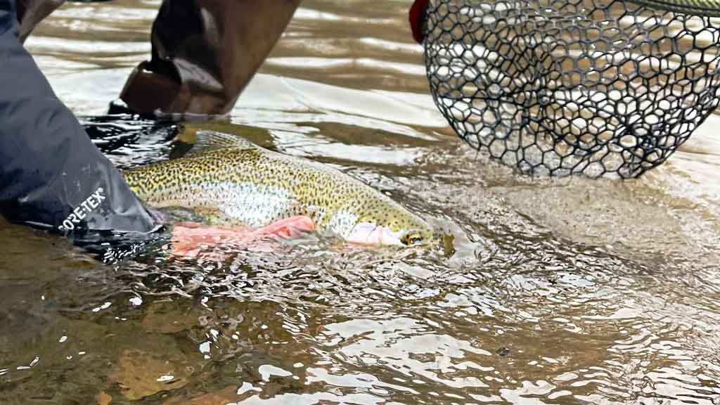 Fly Fishing for Stocked Trout in Rivers and on Still Water