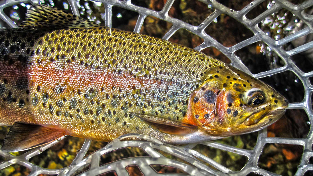 Is Fly Fishing More Effective?  Rainbow Trout Caught Fly Fishing