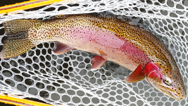 Rainbow Trout Caught on Midge Pattern