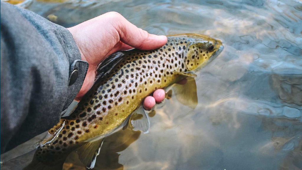 State College PA Large Brown Trout