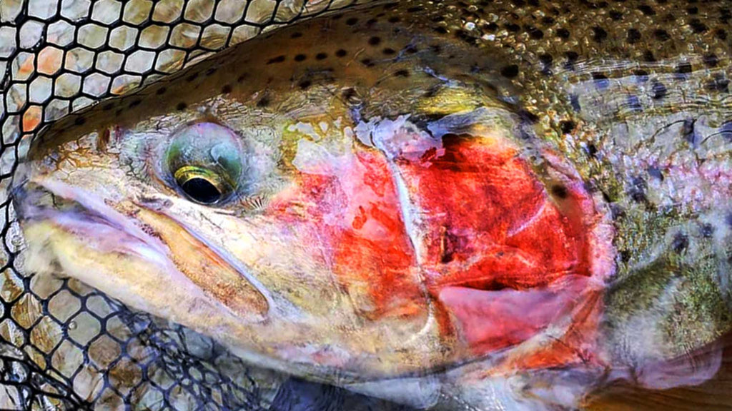 Large Steelhead - Top 25 Places to Catch Trout in America