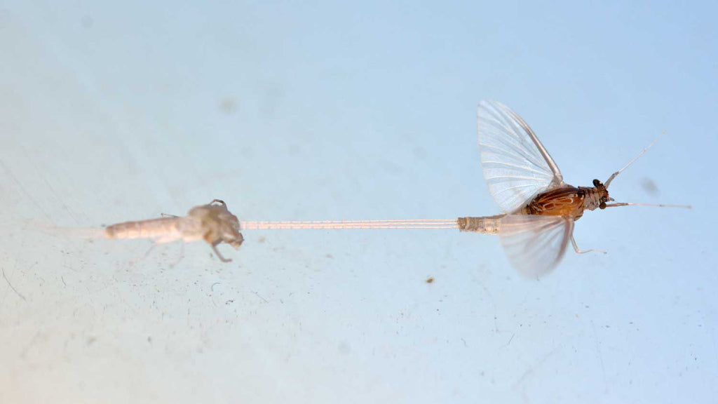 Emerger Mayfly