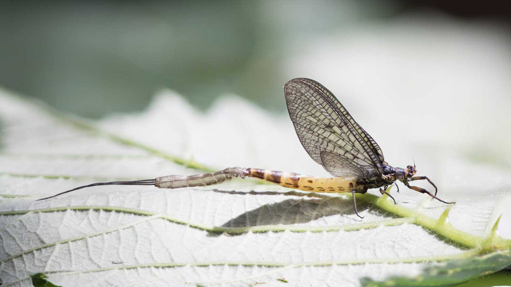 Spinner Mayfly