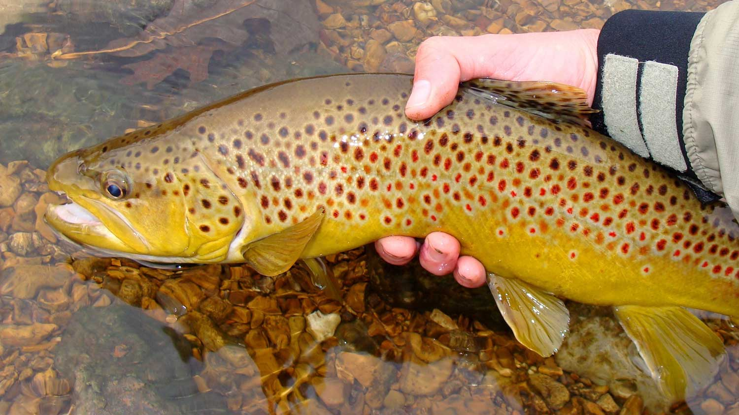 White River Brown Trout