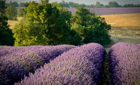 organic lavender field france