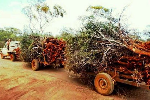 over harvested sandalwood essential oil