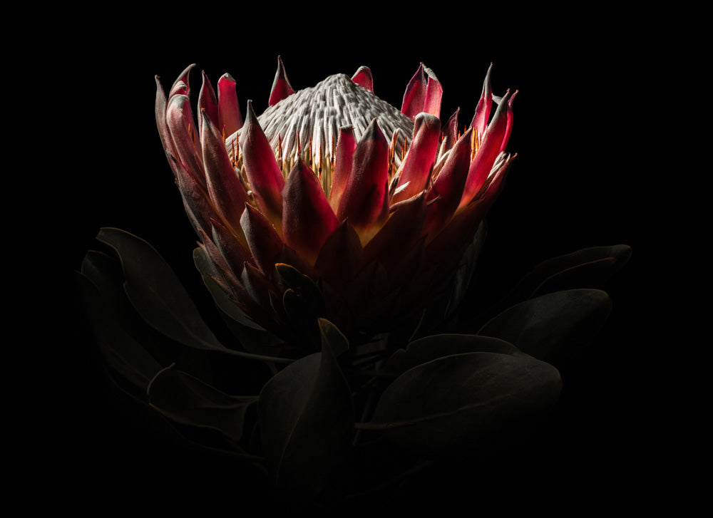 Notecard – King Protea