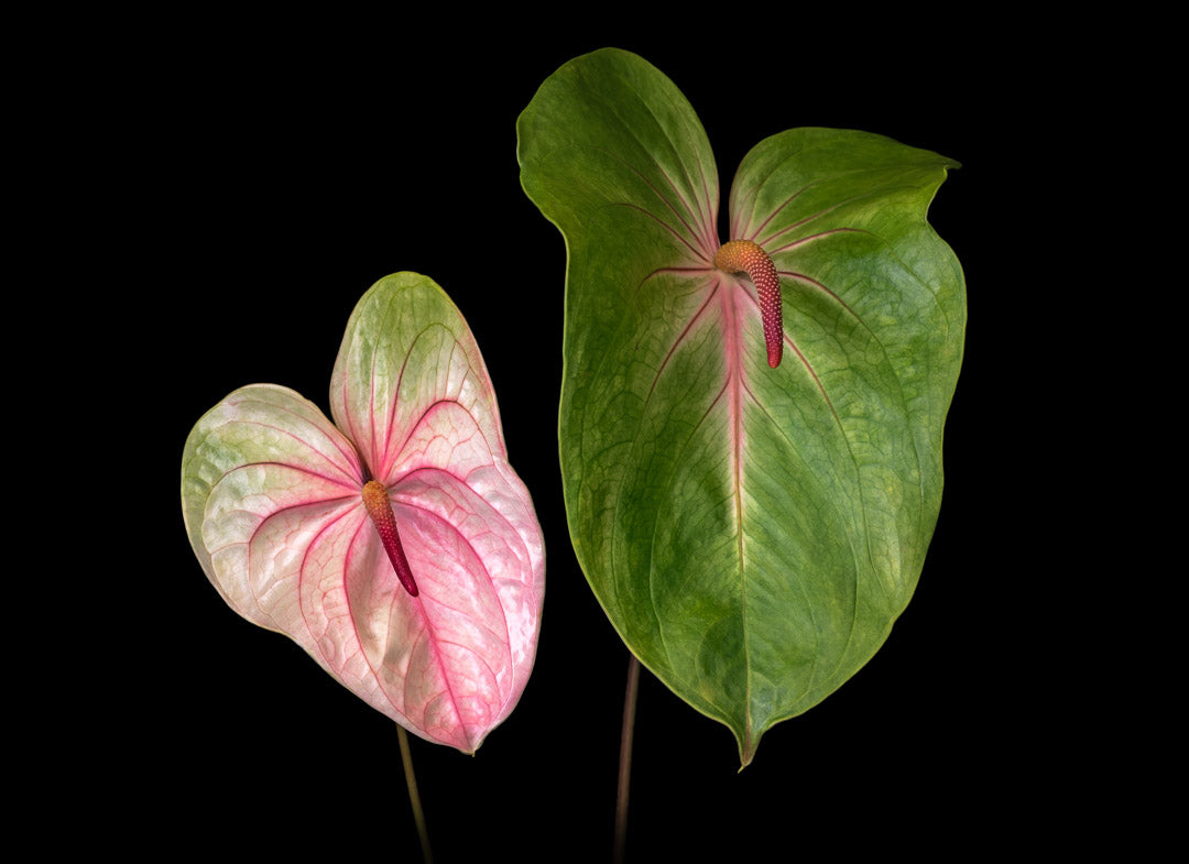Notecard – Double Anthuriums