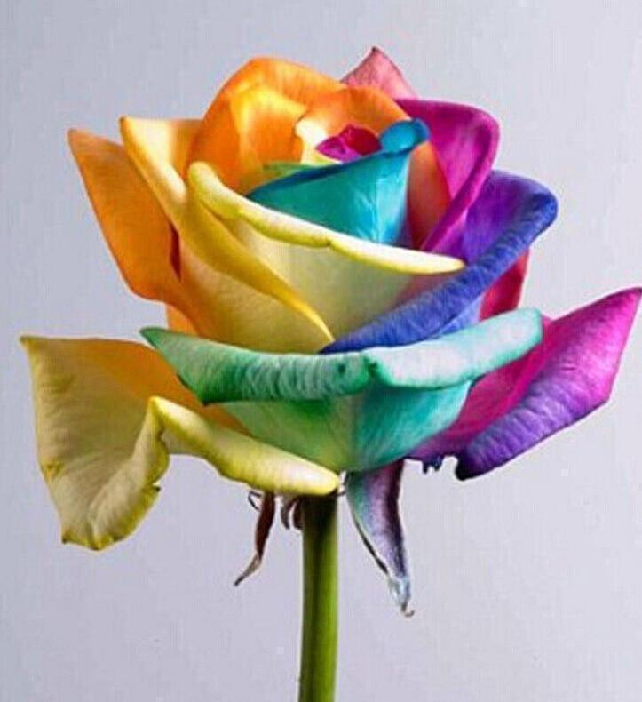 Ultra-Rare Rainbow Rose Seeds - 100 Seed Pack - Molyes Store