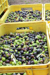 Extra Virgin Olive Oil from Puglia - 100% Italian Olives - 1 Liter - Unfiltered - Free Shipping