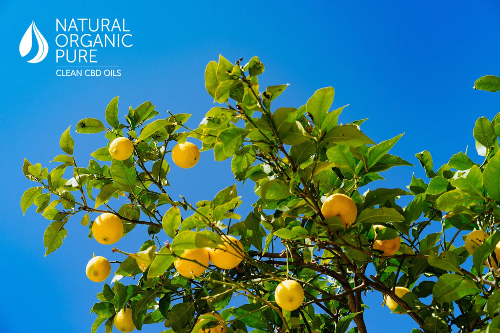 lemon tree | natural organic pure clean cbd oils | cbd oil | hemp oil