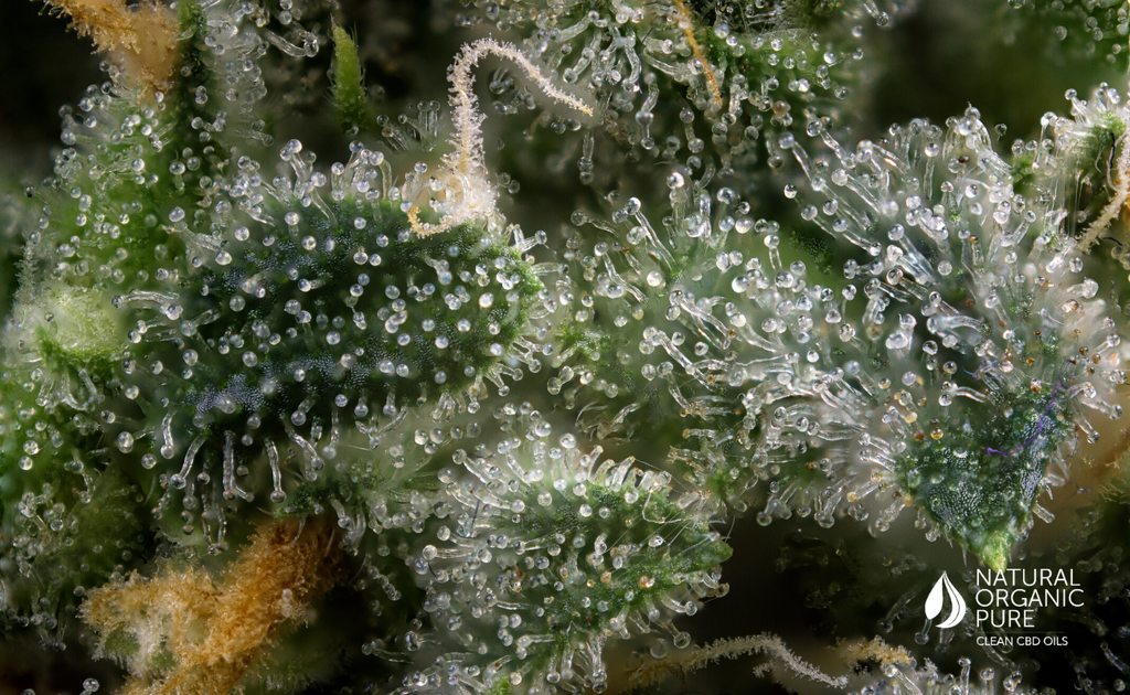 close up of terpenes on cannabis plant-nopcoils