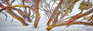 Thredbo Snowgum Jacket