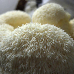 Lion's Mane Mushrooms