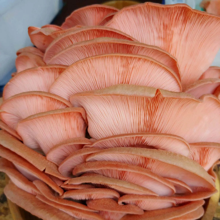 Pink Oyster Mushrooms | Fresh Organic Mushrooms | Roseville, MN | R&R Cultivation