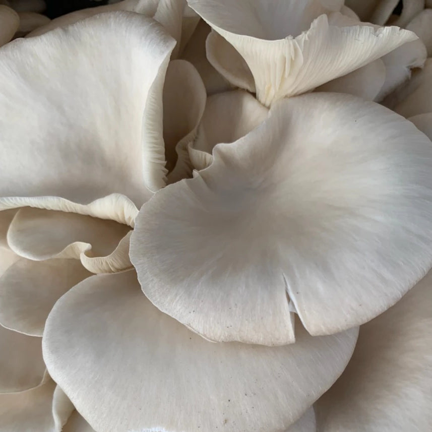 Oyster Mushrooms - R&R Cultivation