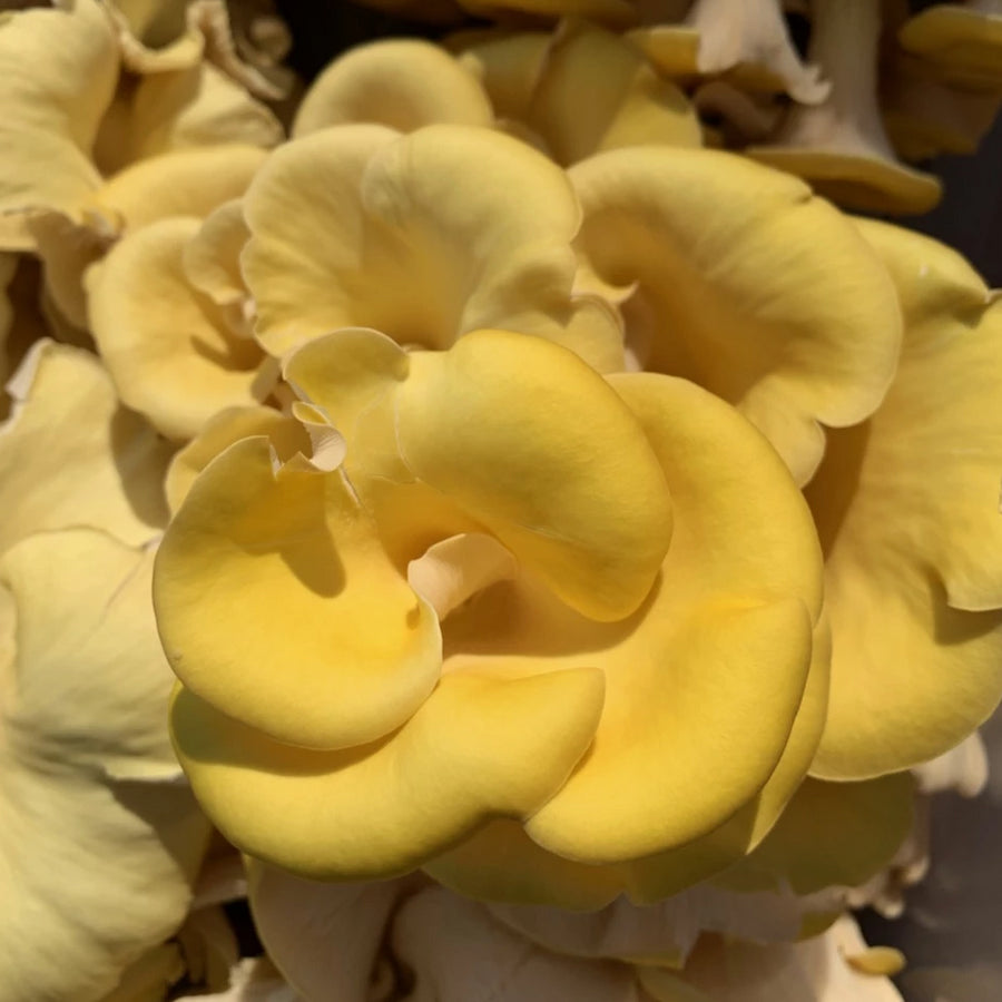 Golden Oyster Mushrooms | Fresh Organic Mushrooms | Roseville, MN | R&R Cultivation