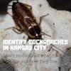 How to Identify Cockroaches in Kansas City
