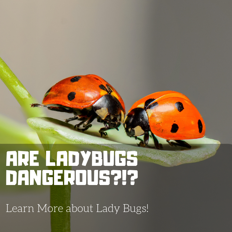 Are Ladybugs Dangerous?