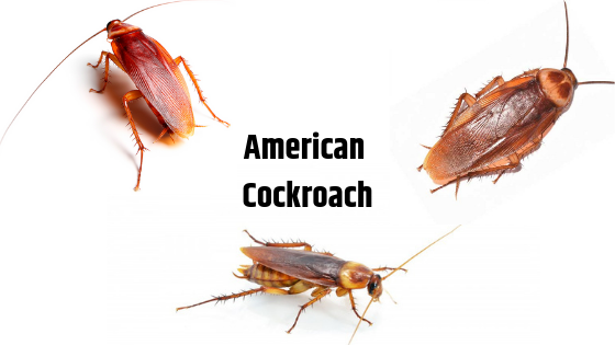 Identify American Cockroaches