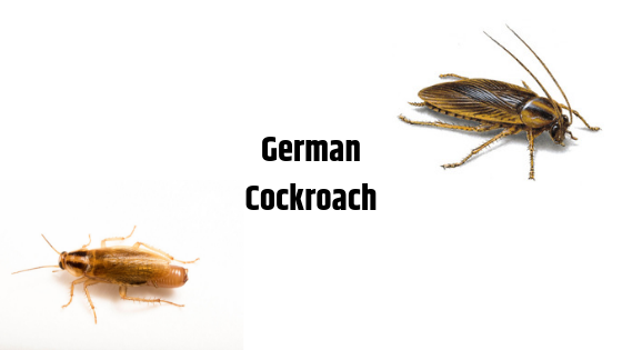 Identify German Cockroach