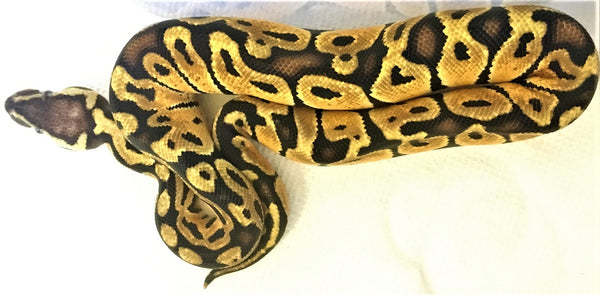 Pied Ball Python For Sale with Free Shipping | Reliable Reptiles |