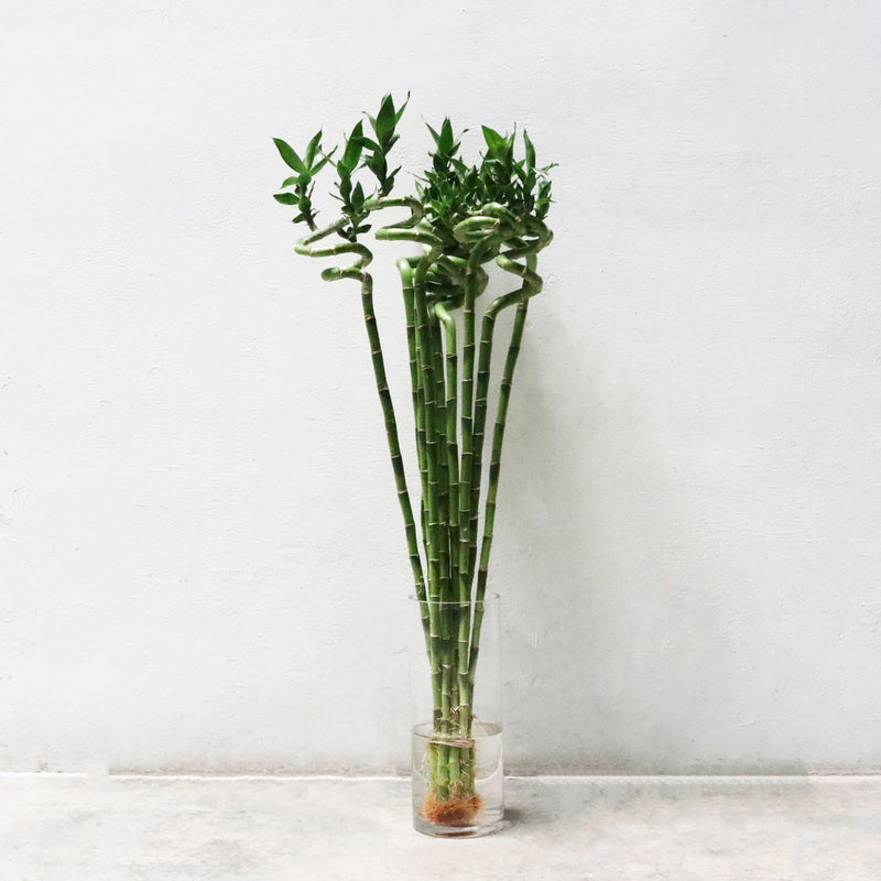Lucky Bamboo (100cm) 1 Plant Only