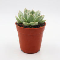 Echeveria Soft Green 2