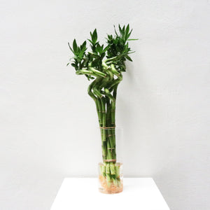 Lucky Bamboo (40cm) 1 Plant Only