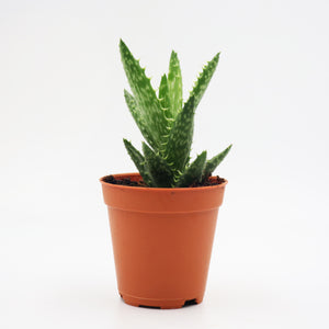 Aloe vera or Star cactus (Aloe barbadensis Mill)