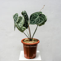 Anthurium crystallinum aka Crystal Anthurium (RARE)