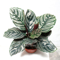 Calathea Ornata 2 in Plastic Pot