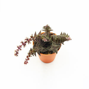 Crassula capitella subsp. thyrsiflora (Red Pagoda)