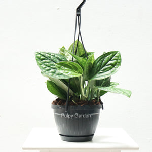 Epipremnum Pinnatum Marble Planet in Hanging Plastic Pot