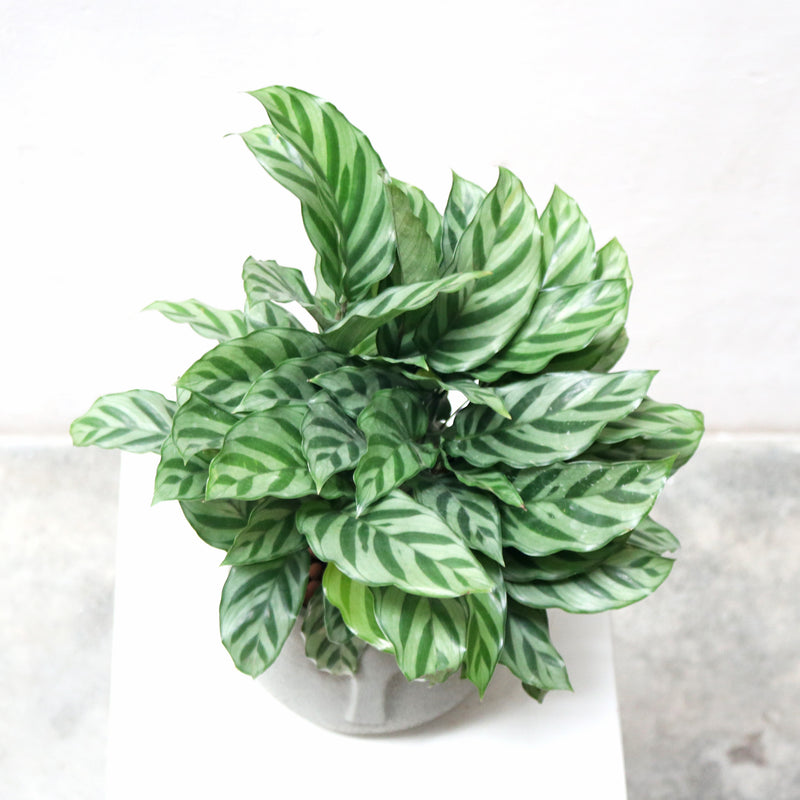 Calathea Freddy House in Large Grey Face Planter