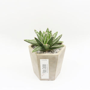 Queen Vic Agave Hexy