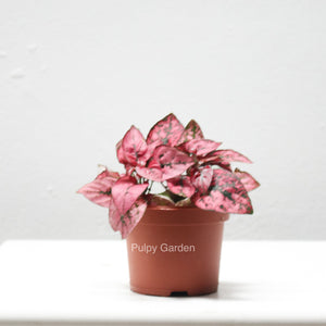 Hypoestes phyllostachya - Red in plastic pot (small)