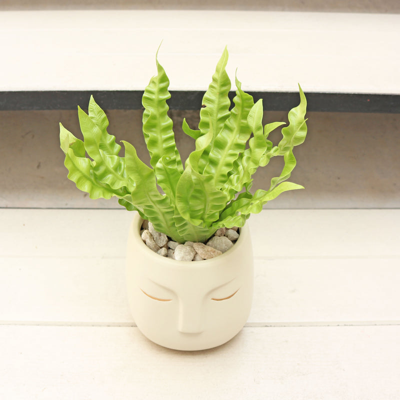 Asplenium Osaka - Japanese Bird's Nest Fern in NEW Off-White Face Planter