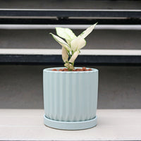 "Aglaonema ""Super White"" in Minty Planter"