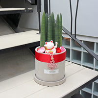 Sansevieria Cylindrica -Stuckyi (35cm) in Large Concrete Planter (佛手 - Fatt Sao)