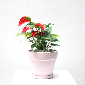 Anthurium andraeanum (Red) Small in Matte Pink Terracotta Planter