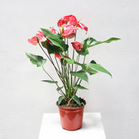 Anthurium andraeanum Medium (Red) in Plastic Pot