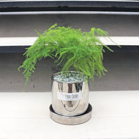 Asparagus Fern in Round Silver Glossy Planter