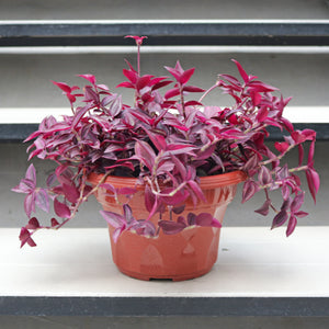 Tradescantia Zebrina Red in Plastic Pot